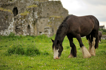 Horse grazing grass