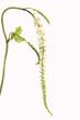 Traubensilberkerze, Cimicifuga, racemosa,