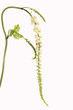 Leinwanddruck Bild - Traubensilberkerze, Cimicifuga, racemosa,