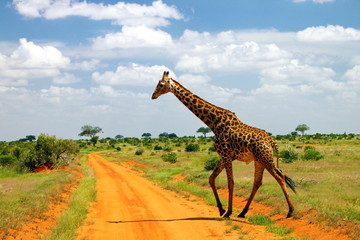 Kenya, Tsavo East, Giraffe walking across dirt road in savannah