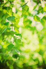 fresh green leaves of birch tree instagram stile