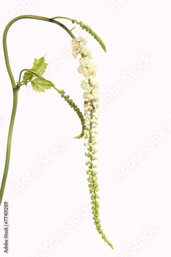 Leinwanddruck Bild Traubensilberkerze, Cimicifuga, racemosa,