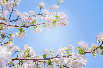 view on branches of blossoming apple tree with sky background in