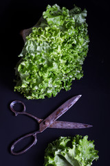 Fresh Lettuce with Big Vintage Scissors on a Black Wet Surface