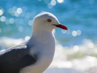 New Zealand, Wellington, Oriental Parade, Seagull