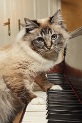 chat sur piano