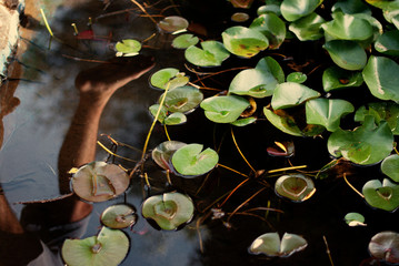 Italy, Lily pad