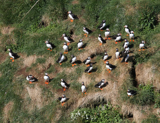 Iceland, Elevated view of flock of puffins
