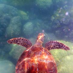 Australia, Queensland, Port Douglas, Swimming Sea Turtle Underwater
