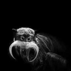 Kaiserschnurrbarttamarin - kleiner Affe in schwarzweiß