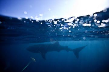 Mexico, Isla Holbox, Whale shark