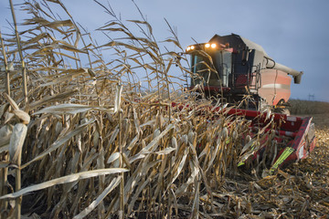 Tractor harvests corn on the field