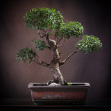 Agrume bonsai