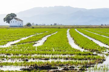 Spain, Catalonia, Tarragona, Amposta, Ebro Delta National Park, Rice field with mountain range on background