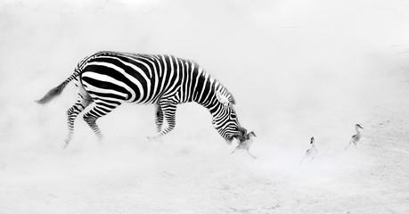 Zebra (Perissodactyla) chasing goslings
