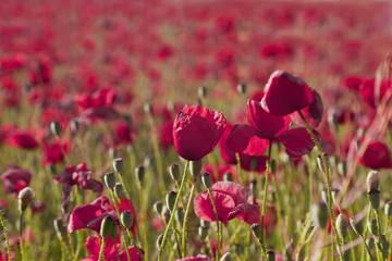Spain, Beautiful poppy field