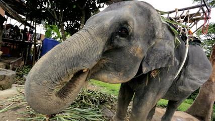 Elephant enjoying playful moment, Phuket, Thailand