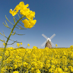 United Kingdom, West Sussex, Halnaker Windmill in field of flowers