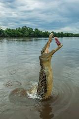 Australia, Darwin, Adelaide River, Jumping crocodile