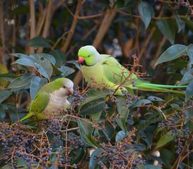 pappagalli esotici mangiano frutta nella foresta