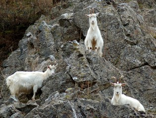 United Kingdom, England, Three white goats on rocky mountain