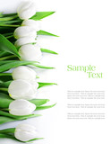 tulips in a row, isolated on white