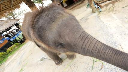 Baby Elephant eating playful, Phuket, Thailand