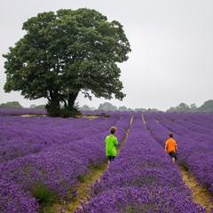 Boys (6-7) in lavender field