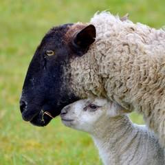 United Kingdom, England, Somerset, High Ham, Sheep with lamb