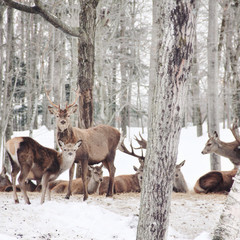 Canada, Deers in winter forest