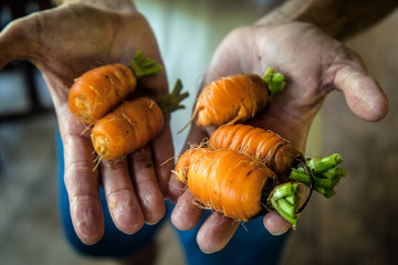 Costa Rica, Caratgo, Ventanas de Osa, Farmer holding organic carrots, close-up