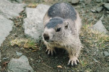 Close-up of beaver