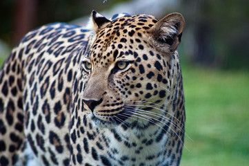South Africa, Limpopo, Mopani District Municipality, Maruleng Local Municipality, Portrait of leopard