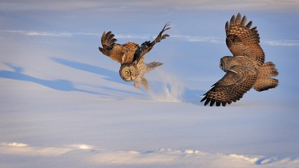 Canada, Quebec, Montreal, Great Grey Owls fighting