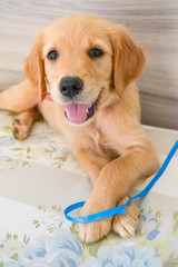 Golden retriever puppy lying on cushion