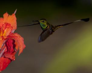 Ecuador, Hummingbird feeding from flower
