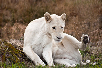 South Africa, Western Cape, White female lion sitting on grass