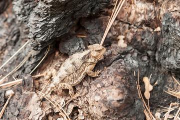 USA, Arizona, Horned lizard on tree trunk