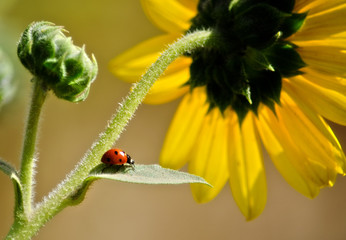 USA, Colorado, Ladybug on leaf of sunflower