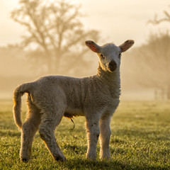 Lamb looking at camera