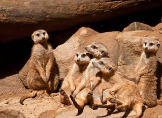 Gang of Meerkats