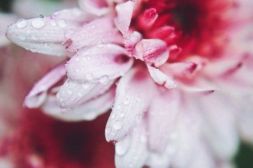 Macro pink chrysanthemum flower with water droplets