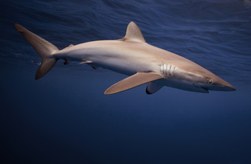 Bahamas, View of silky shark