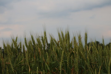 Green field of wheat