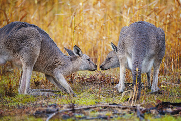 Australia, Two kangaroos face to face in field