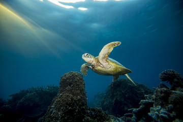 Australia, Lady Elliot Island, Turtle swimming underwater