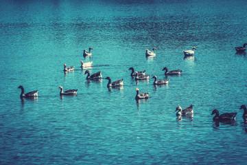 Brazil, Brasilia, Ducks swimming in lake