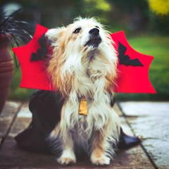 Halloween dog portrait in red cloak