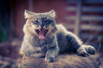 Cat opening mouth