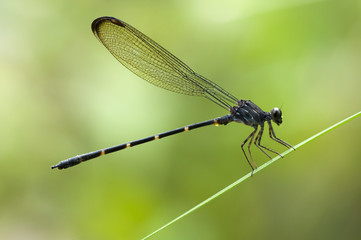 Indonesia, West Kalimantan, Bengkayang, Bamboo Tail dragonfly